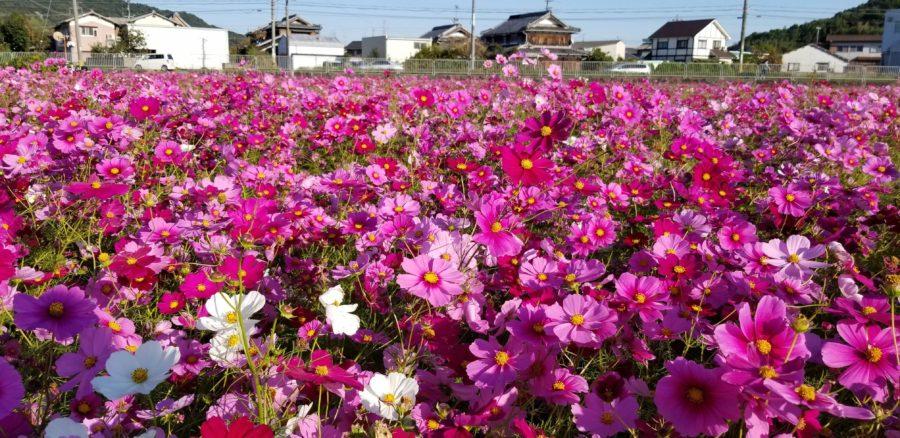 コスモス畑(志方町しろやま農業研修センター)